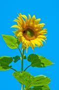 sunflower flower - stock photo