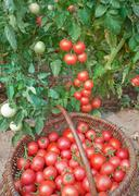 plentiful fructification of tomatoes - stock photo