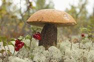 Stock Photo of an orange-cap boletus (leccinum aurantiacum)