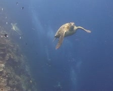 Turtle swimming into the blue water close to viewer - stock footage
