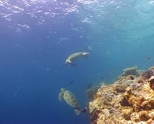 Two turtles swimming into the blue water - stock footage