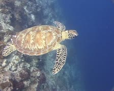 Turtle swimming into the blue water - stock footage