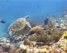 Turtle swimming along colorful reef - stock footage