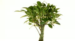 Bonsai Tree Stock Footage