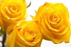 Yellow roses closeup Stock Photos