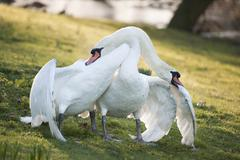 mute swans display aggressive and tender behaviour during mating ritual - stock photo