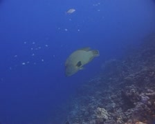 Green Napoleon Wrasse Swimming along Reef Stock Footage