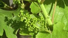 Grape buds Stock Footage