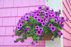 Purple hanging basket Stock Photos