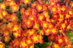 perennial primrose - stock photo