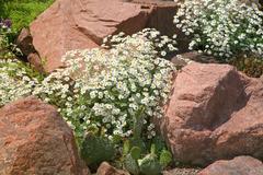 rockgarden chamomile - stock photo