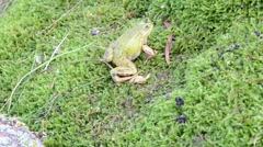 green frog on swamp moss catch prey earthworm worm - stock footage