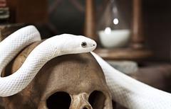 Texas rat snake Stock Photos