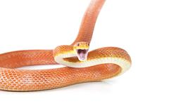 red texas rat snake attacking - stock photo