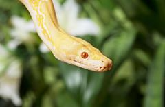 lavender tiger albino python closeup - stock photo