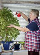 the elderly woman sprinkles plant - stock photo