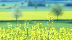 Close up of Oilseed Rape Flowers Stock Footage