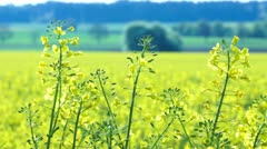 Close up of Oilseed Rape Flowers - stock footage