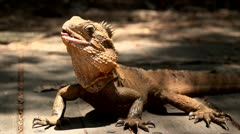 Inquisitive lizard 1 - stock footage
