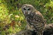 Owl perched on old log on the ground in the forest Stock Footage