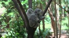 Baby Koala on mother Stock Footage