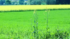 Rapeseed Plants - stock footage