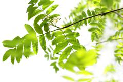 fresh, spring leaves of mountain ash tree - stock photo