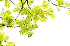 fresh, spring leaves of mountain ash tree - stock photo
