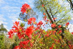 Stock Photo of blooming red azalea plant