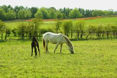 Two horses, a mare and a colt in spring pasture Stock Photos