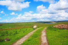 English landscape with fields and sheep Stock Photos