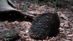 Echidna spiny ant eater enters burrow Stock Footage