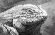 Stock Illustration of iguana art, tattoo style. awesome illustration in grey pencil