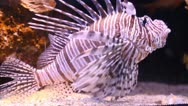 Scorpion fish Stock Footage