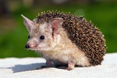 eared hedgehog on the sand - stock photo
