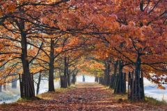oak alley in autumn colours - stock photo