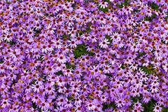 purple chrysanthemum flowers (autumn vivid background) - stock photo