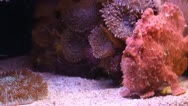 Red Stonefish Stock Footage