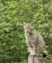 Stock Photo of wildcat in natural ambiance