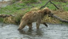 BROWN BEAR JUVENILE - stock footage