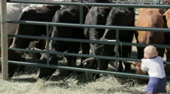 Cows at Rodeo Stock Footage