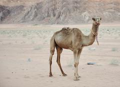 Camel in the desert Stock Photos
