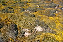 Stock Photo of abstract - yellow & brown kelp swirling patterns