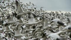 Snow geese in flight Stock Footage