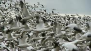 Stock Video Footage of snow geese in flight