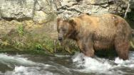 Stock Video Footage of BROWN BEAR MOVES IN WATER