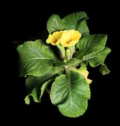 flowering yellow primula on the black background - stock photo