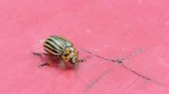 Macro potato beetle bug upset walk red wooden background Stock Footage
