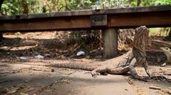 Inquisitive lizard 3 - stock footage
