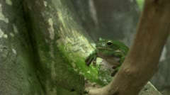 Croaking tree frog silent Stock Footage